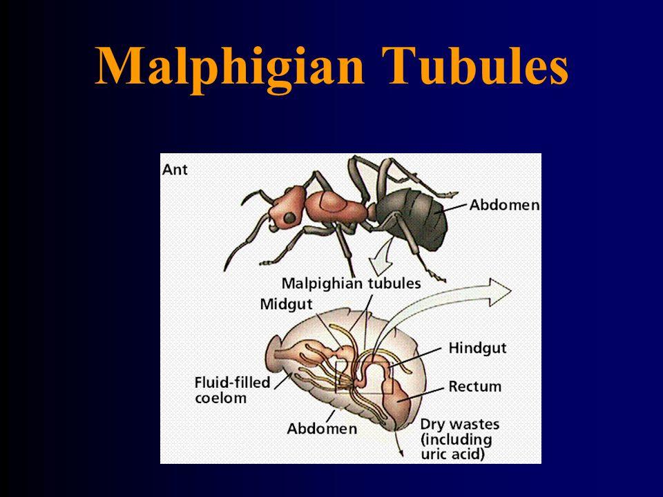 Malphigian Tubules