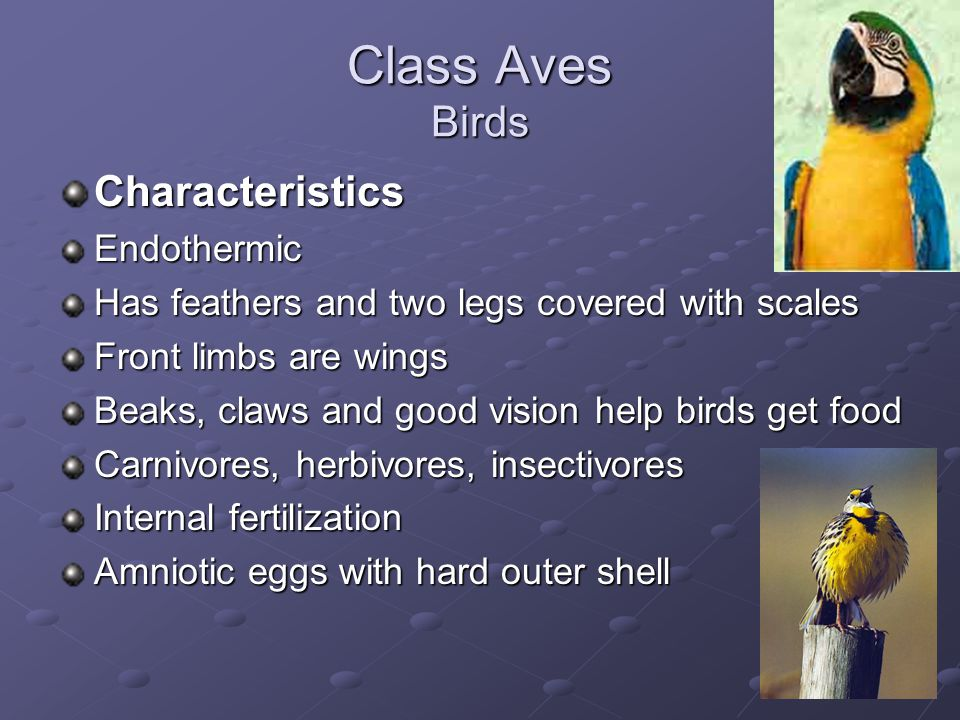 Class Aves Birds CharacteristicsEndothermic Has feathers and two legs covered with scales Front limbs are wings Beaks, claws and good vision help birds get food Carnivores, herbivores, insectivores Internal fertilization Amniotic eggs with hard outer shell