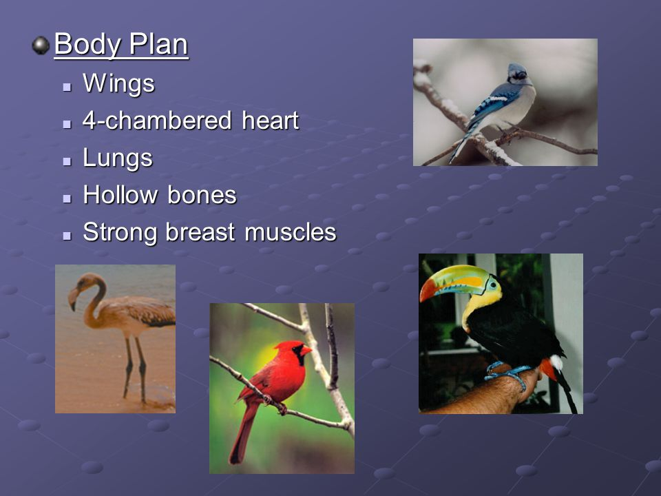 Body Plan Wings Wings 4-chambered heart 4-chambered heart Lungs Lungs Hollow bones Hollow bones Strong breast muscles Strong breast muscles