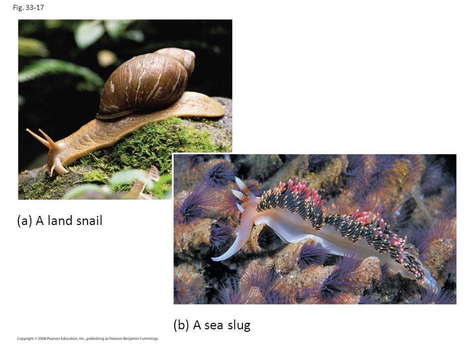 Fig. 33-17 (a) A land snail (b) A sea slug
