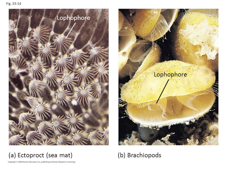 Fig. 33-14 Lophophore (a) Ectoproct (sea mat) Lophophore (b) Brachiopods