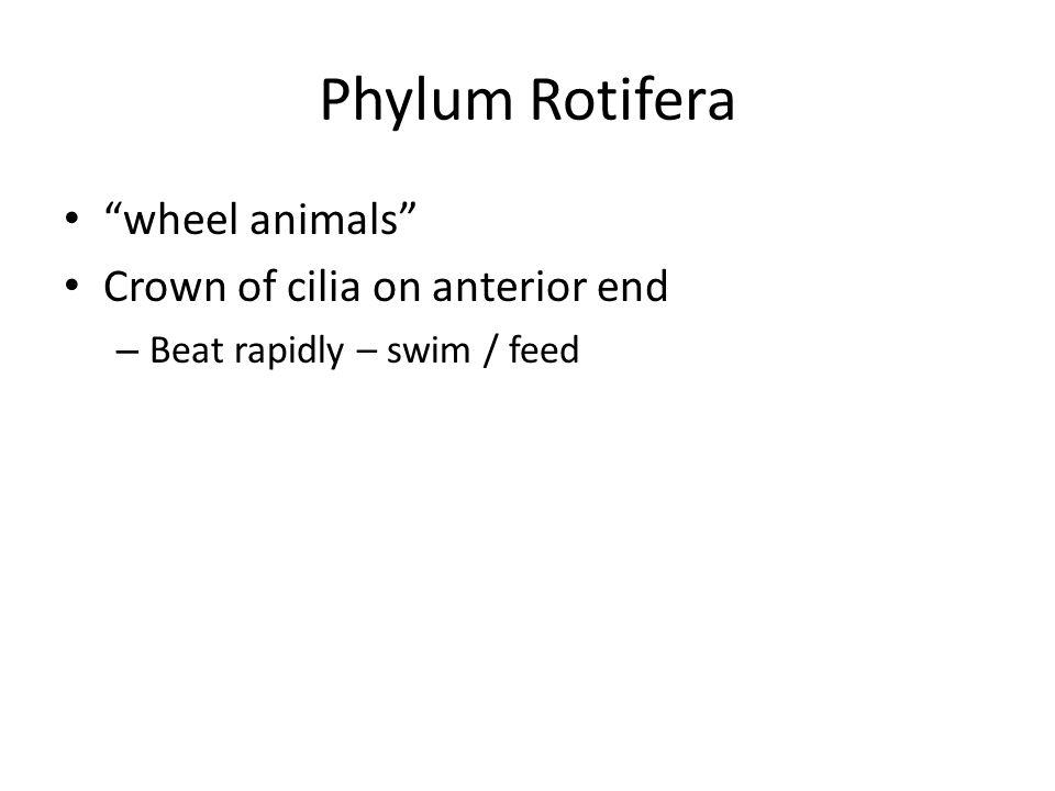 "Phylum Rotifera ""wheel animals"" Crown of cilia on anterior end – Beat rapidly – swim / feed"