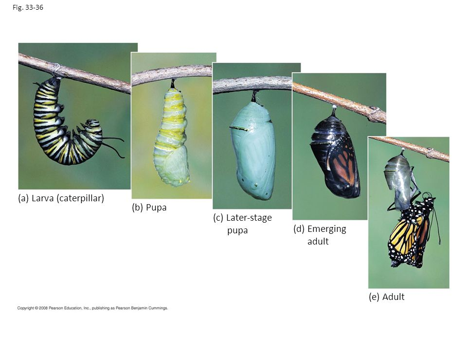 Fig. 33-36 (a) Larva (caterpillar) (b) Pupa (c) Later-stage pupa (d) Emerging adult (e) Adult