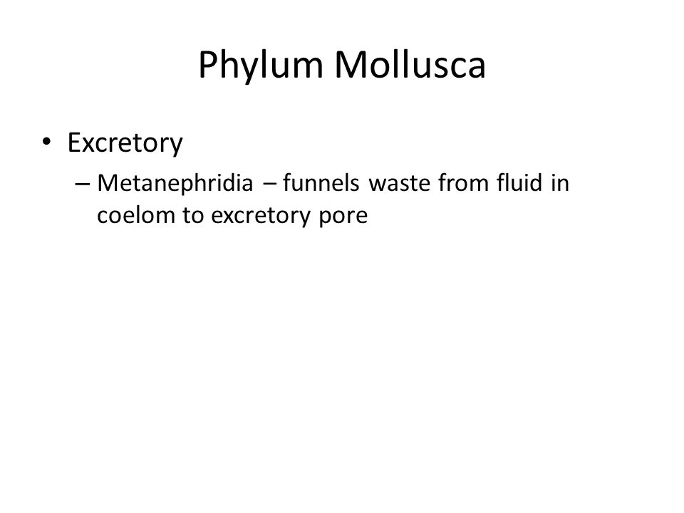 Phylum Mollusca Excretory – Metanephridia – funnels waste from fluid in coelom to excretory pore