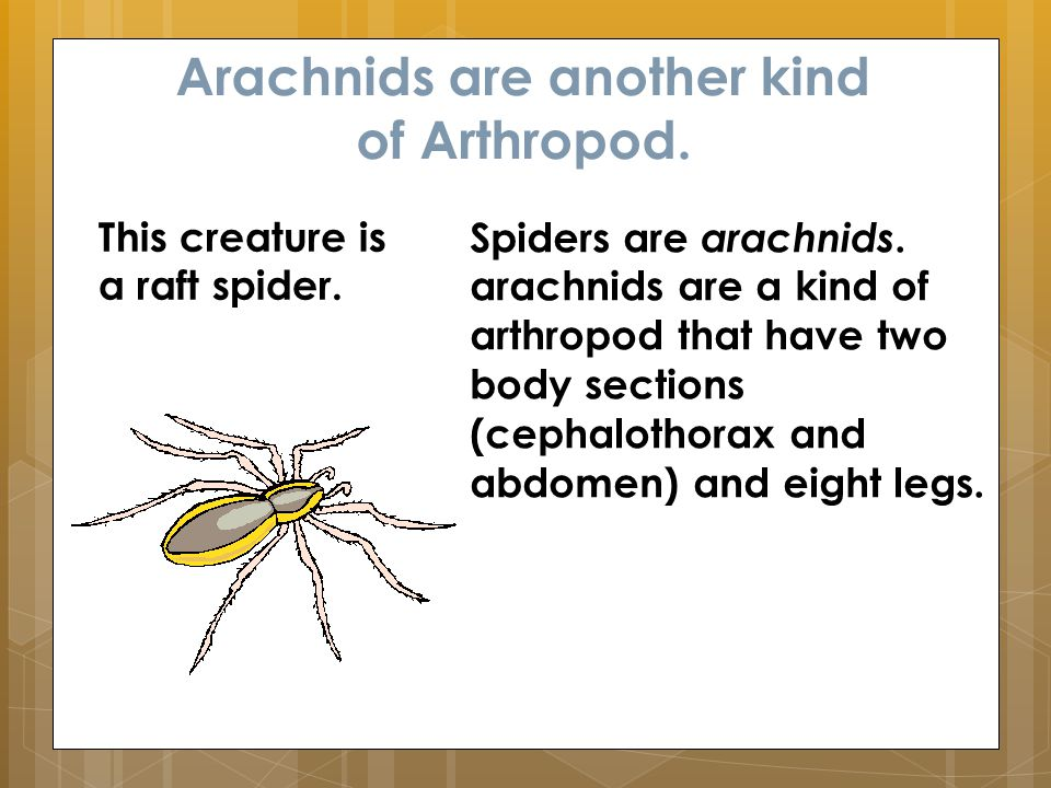 Arachnids are another kind of Arthropod. Spiders are arachnids.