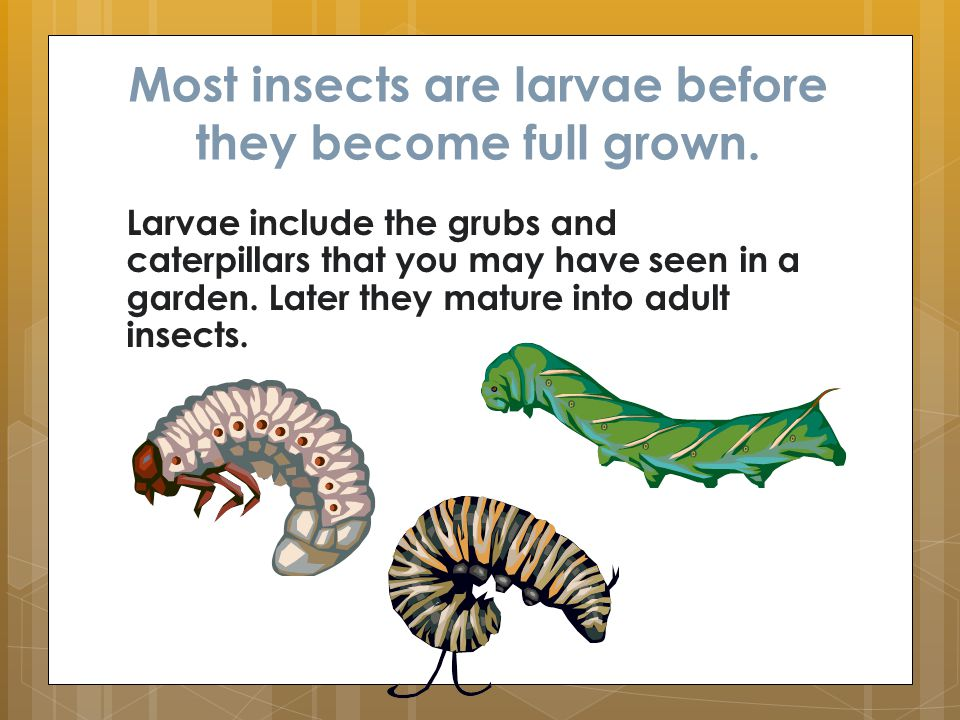 Most insects are larvae before they become full grown.