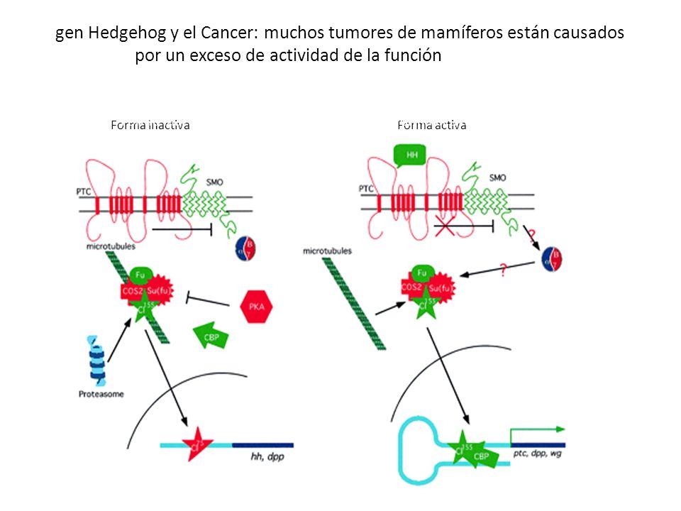 El gen Hedgehog y el Cancer: muchos tumores de mamíferos están causados por un exceso de actividad de la función hedgehog Forma activaForma inactiva Forma activa