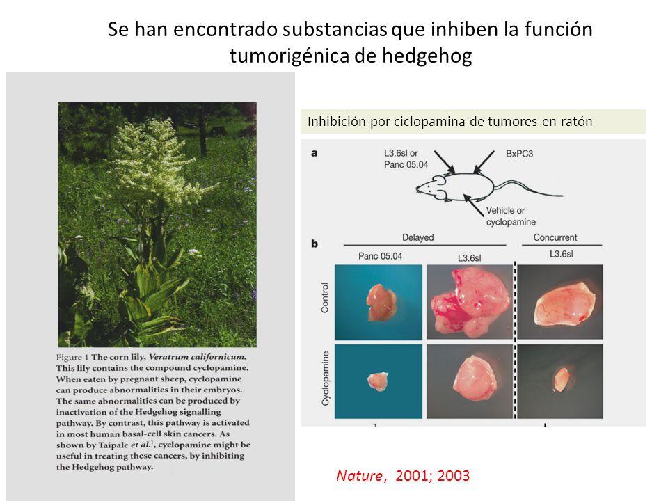Se han encontrado substancias que inhiben la función tumorigénica de hedgehog Inhibición por ciclopamina de tumores en ratón Nature, 2001; 2003