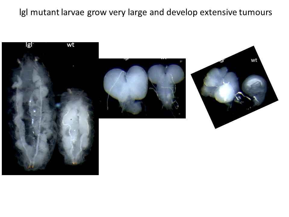 lgl mutant larvae grow very large and develop extensive tumours lgl - wt lgl - Brain Wing disc wt