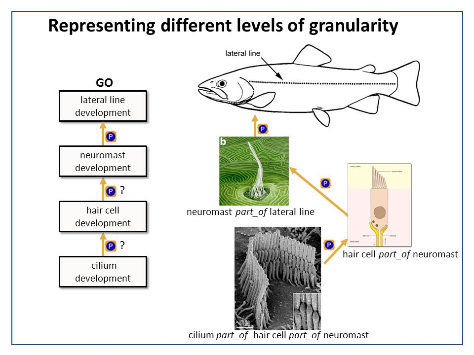 Representing different levels of granularity lateral line development .
