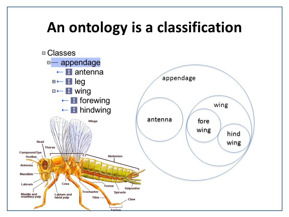 Zebrafish terms are is_a subtypes of teleost terms is_a Zebrafish Anatomy Teleost Anatomy Ontology Reconciliation and linking between TAO and ZFA Logic implemented via Xrefs- difficult to keep synchronized