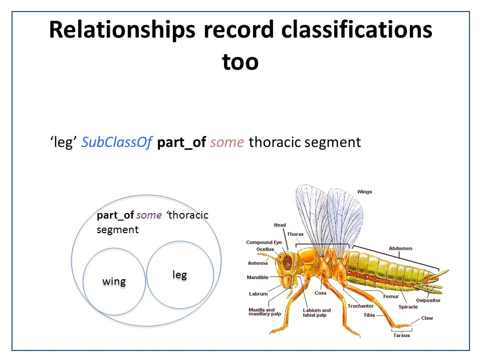 Relationships record classifications too leg part_of some 'thoracic segment wing 'leg' SubClassOf part_of some thoracic segment