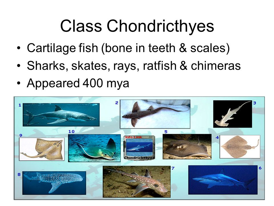 Chondricthyes characteristics Premier Predators –Streamlined body (power, not grace) –Oil bladder (buoyancy) –Acute vision (but colorblind) –Detect electric fields