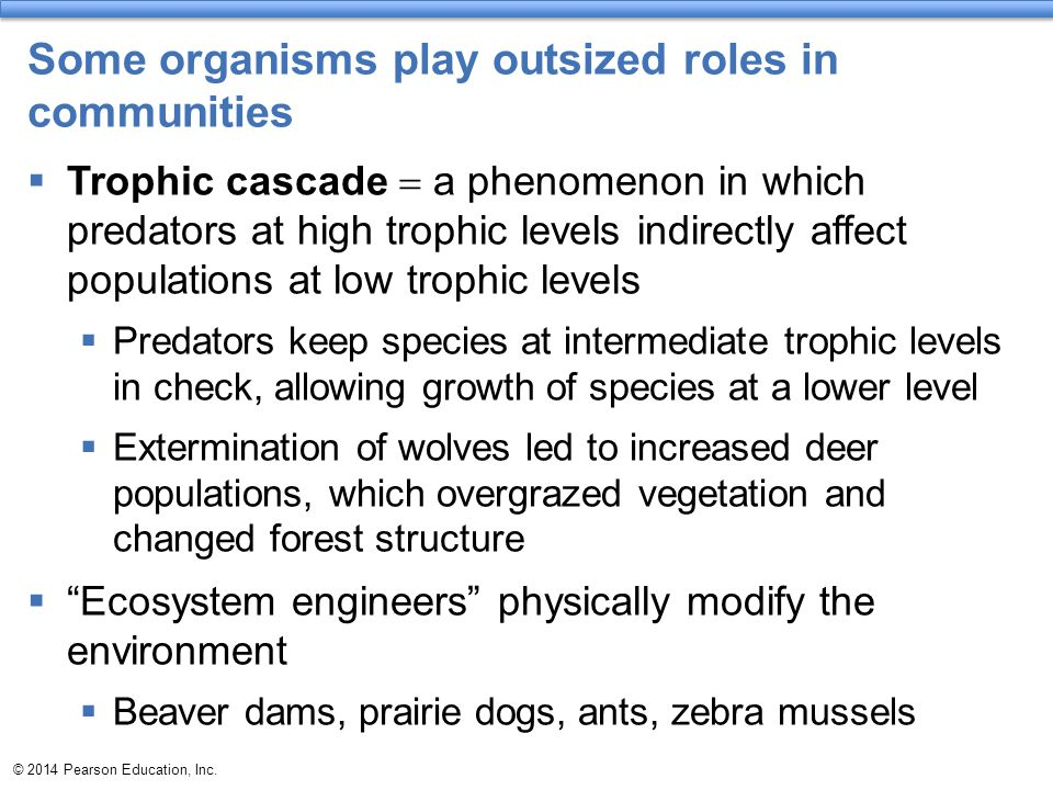 Some organisms play outsized roles in communities  Trophic cascade  a phenomenon in which predators at high trophic levels indirectly affect populat