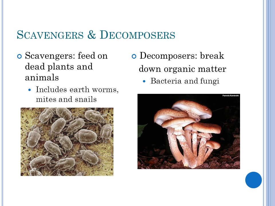 S CAVENGERS & D ECOMPOSERS Scavengers: feed on dead plants and animals Includes earth worms, mites and snails Decomposers: break down organic matter Bacteria and fungi