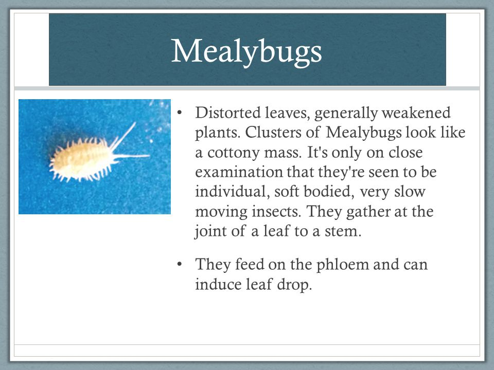 Mealybugs Distorted leaves, generally weakened plants. Clusters of Mealybugs look like a cottony mass. It's only on close examination that they're see
