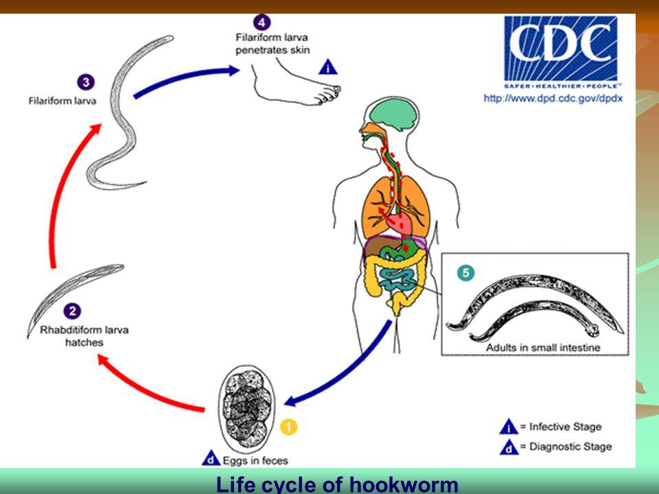 Life cycle of hookworm