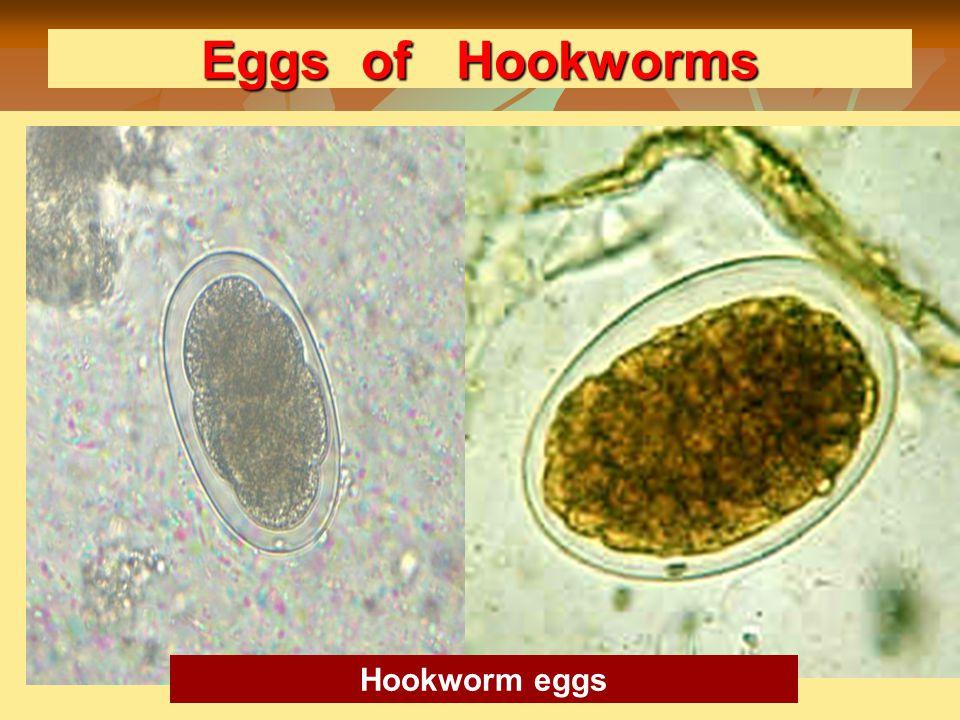 Eggs of Hookworms Hookworm eggs