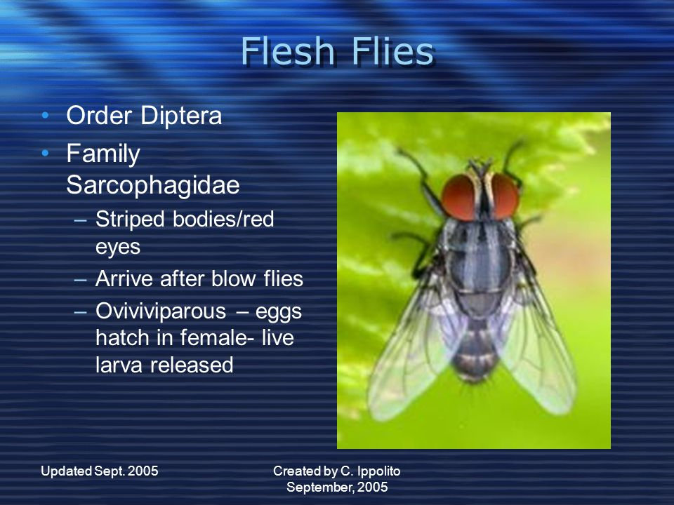 Updated Sept. 2005Created by C. Ippolito September, 2005 Blow Flies Blow Flies Order Diptera Family Calliphoridae –B–Blue/green metallic bodies –F–Fly