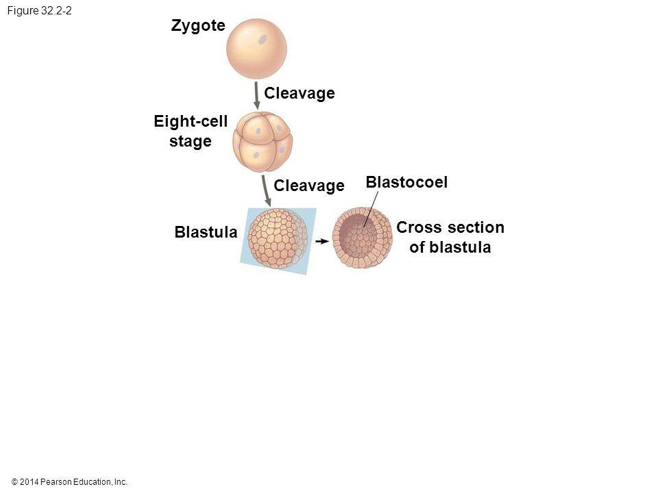 © 2014 Pearson Education, Inc. Figure 32.2-2 Zygote Cleavage Eight-cell stage Cleavage Blastocoel Cross section of blastula Blastula