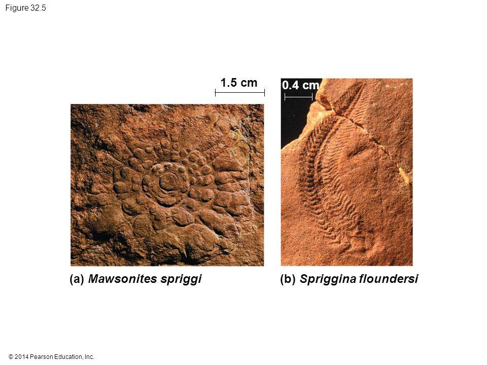 © 2014 Pearson Education, Inc. Figure 32.5 1.5 cm (a) Mawsonites spriggi 0.4 cm (b) Spriggina floundersi