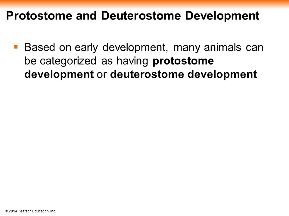 © 2014 Pearson Education, Inc. Protostome and Deuterostome Development  Based on early development, many animals can be categorized as having protost