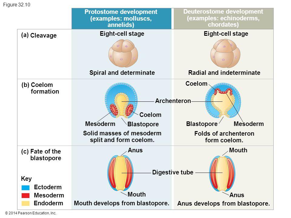 © 2014 Pearson Education, Inc. Figure 32.10 Protostome development (examples: molluscs, annelids) Deuterostome development (examples: echinoderms, cho