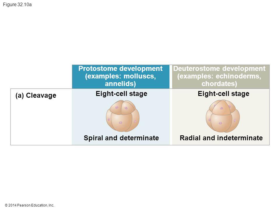 © 2014 Pearson Education, Inc. Figure 32.10a Protostome development (examples: molluscs, annelids) Deuterostome development (examples: echinoderms, ch
