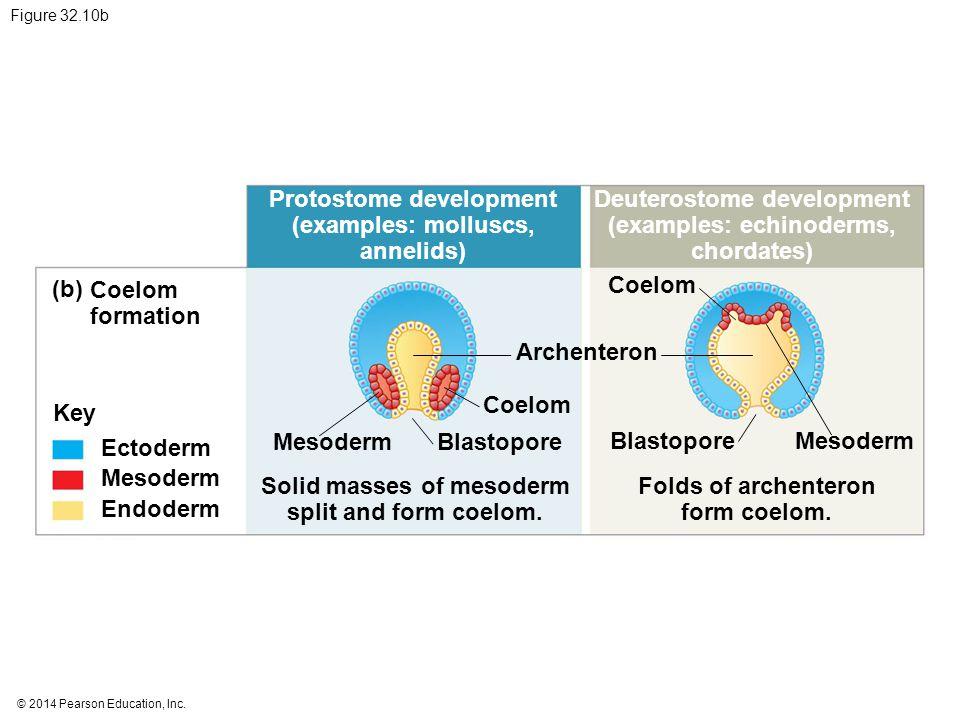 © 2014 Pearson Education, Inc. Figure 32.10b Protostome development (examples: molluscs, annelids) Deuterostome development (examples: echinoderms, ch