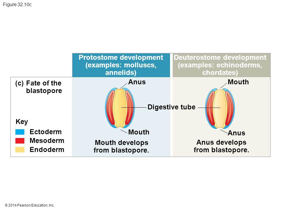 © 2014 Pearson Education, Inc. Figure 32.10c Protostome development (examples: molluscs, annelids) Deuterostome development (examples: echinoderms, ch