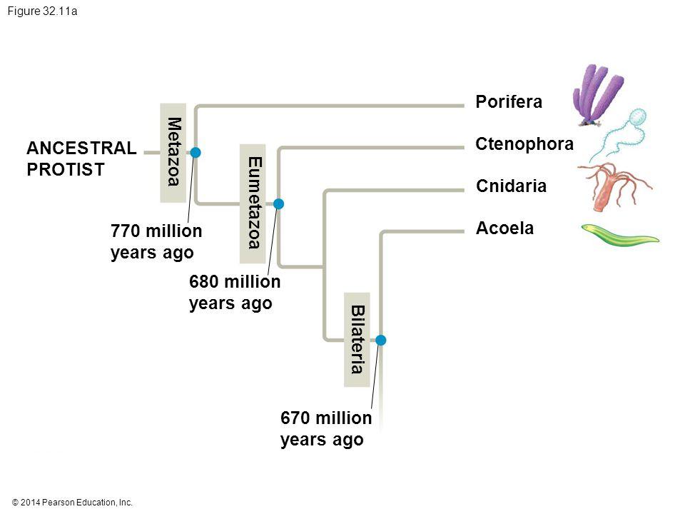 © 2014 Pearson Education, Inc. Figure 32.11a Porifera Ctenophora Cnidaria Acoela ANCESTRAL PROTIST 770 million years ago 680 million years ago 670 mil
