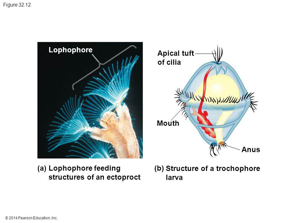 © 2014 Pearson Education, Inc. Figure 32.12 Lophophore feeding structures of an ectoproct (a) Lophophore Structure of a trochophore larva (b) Anus Mou