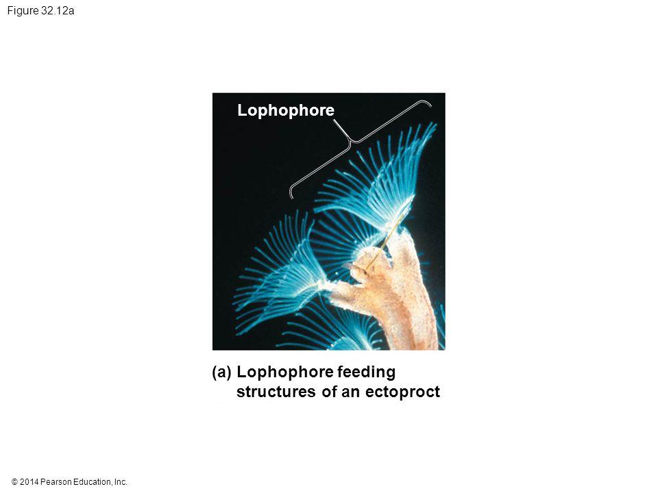 © 2014 Pearson Education, Inc. Figure 32.12a Lophophore feeding structures of an ectoproct (a) Lophophore