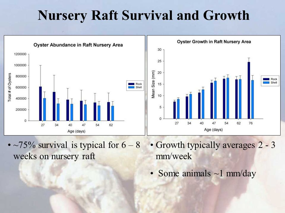 Nursery Raft Survival and Growth ~75% survival is typical for 6 – 8 weeks on nursery raft Growth typically averages 2 - 3 mm/week Some animals ~1 mm/day