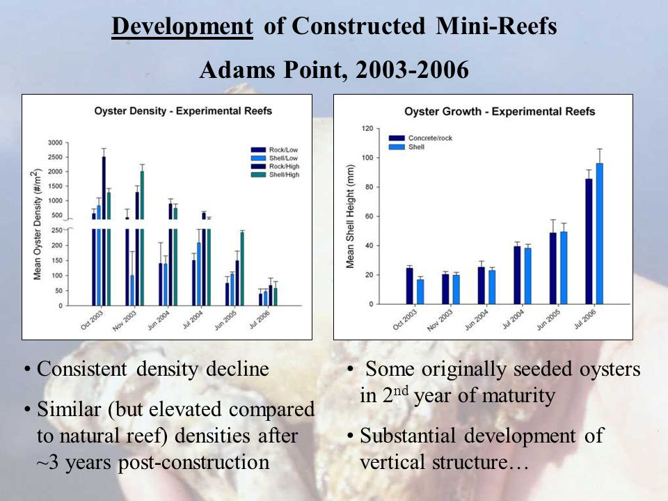 Development of Constructed Mini-Reefs Adams Point, 2003-2006 Consistent density decline Similar (but elevated compared to natural reef) densities after ~3 years post-construction Some originally seeded oysters in 2 nd year of maturity Substantial development of vertical structure…