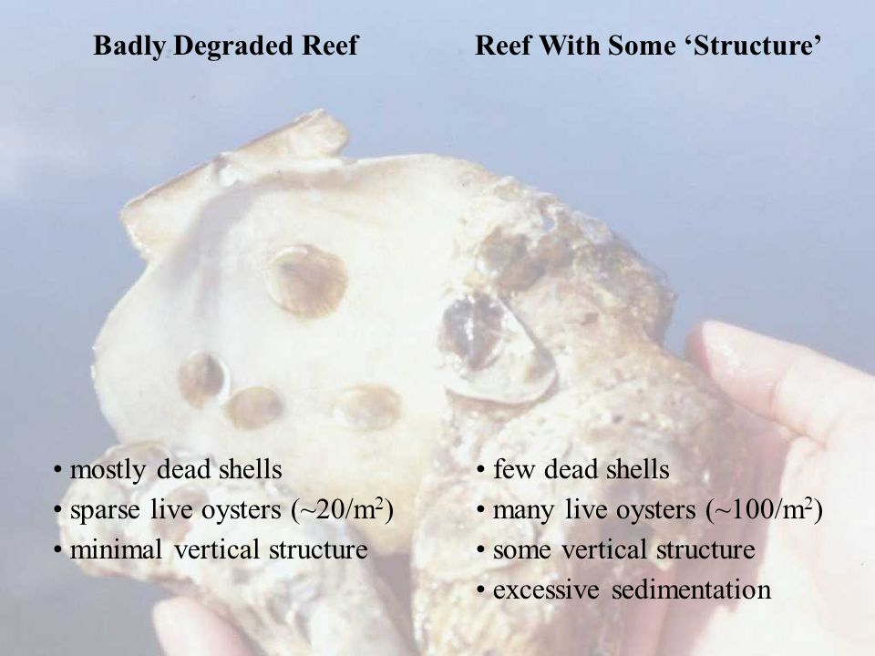 Badly Degraded Reef Reef With Some 'Structure' mostly dead shells sparse live oysters (~20/m 2 ) minimal vertical structure few dead shells many live