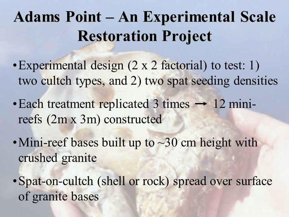 Adams Point – An Experimental Scale Restoration Project Experimental design (2 x 2 factorial) to test: 1) two cultch types, and 2) two spat seeding densities Each treatment replicated 3 times 12 mini- reefs (2m x 3m) constructed Mini-reef bases built up to ~30 cm height with crushed granite Spat-on-cultch (shell or rock) spread over surface of granite bases