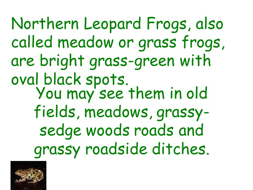 Northern Leopard Frogs, also called meadow or grass frogs, are bright grass-green with oval black spots.