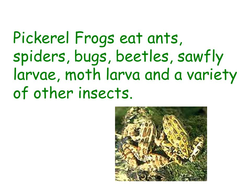 Pickerel Frogs eat ants, spiders, bugs, beetles, sawfly larvae, moth larva and a variety of other insects.