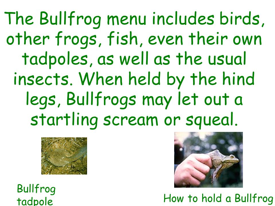 The Bullfrog menu includes birds, other frogs, fish, even their own tadpoles, as well as the usual insects.