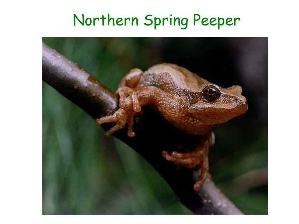Northern Spring Peeper