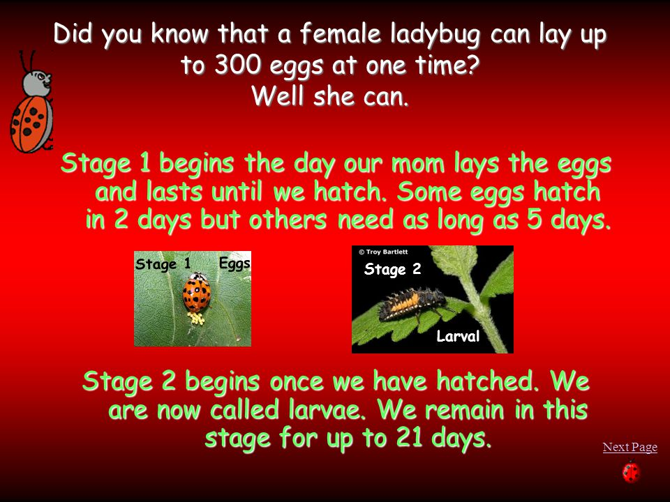 Did you know that a female ladybug can lay up to 300 eggs at one time? Well she can. Stage 1 begins the day our mom lays the eggs and lasts until we h