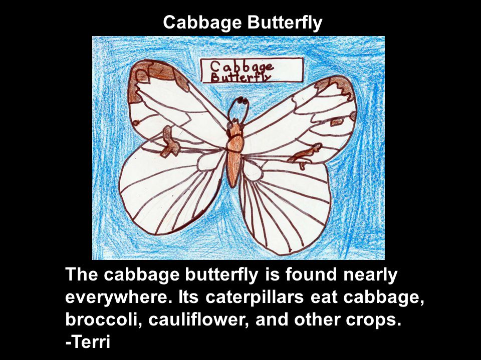 The cabbage butterfly is found nearly everywhere.