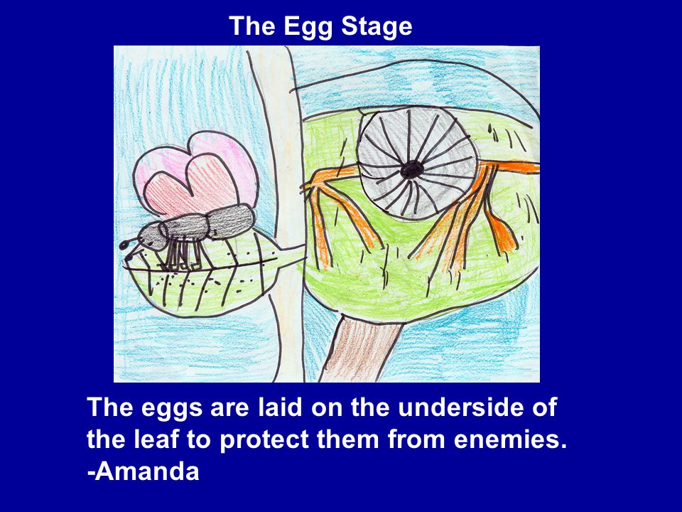 The eggs are laid on the underside of the leaf to protect them from enemies. -Amanda The Egg Stage
