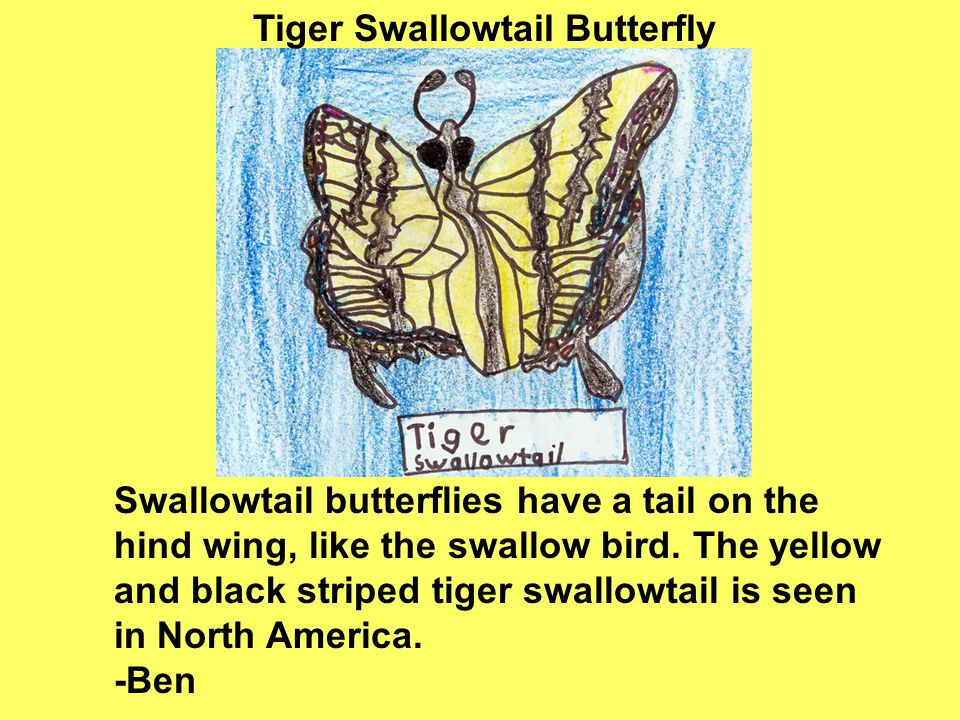 Swallowtail butterflies have a tail on the hind wing, like the swallow bird.