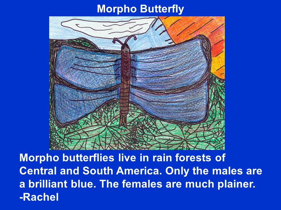 Morpho butterflies live in rain forests of Central and South America.