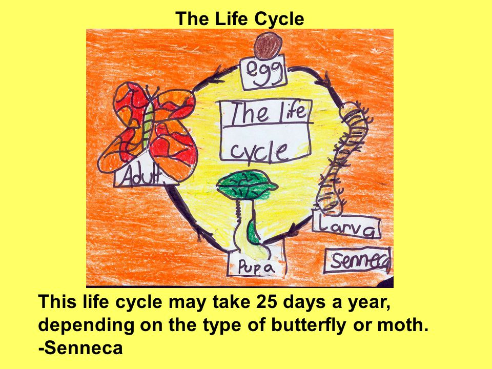 This life cycle may take 25 days a year, depending on the type of butterfly or moth.