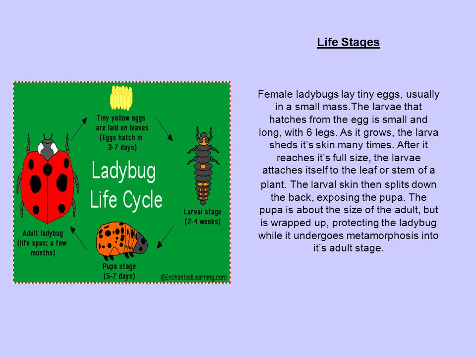 Life Stages Female ladybugs lay tiny eggs, usually in a small mass.The larvae that hatches from the egg is small and long, with 6 legs. As it grows, t