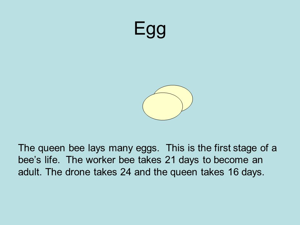 Egg The queen bee lays many eggs. This is the first stage of a bee's life. The worker bee takes 21 days to become an adult. The drone takes 24 and the