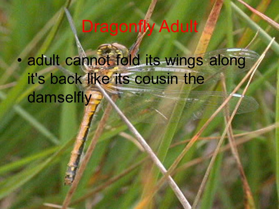 Dragonfly Adult adult cannot fold its wings along it's back like its cousin the damselfly